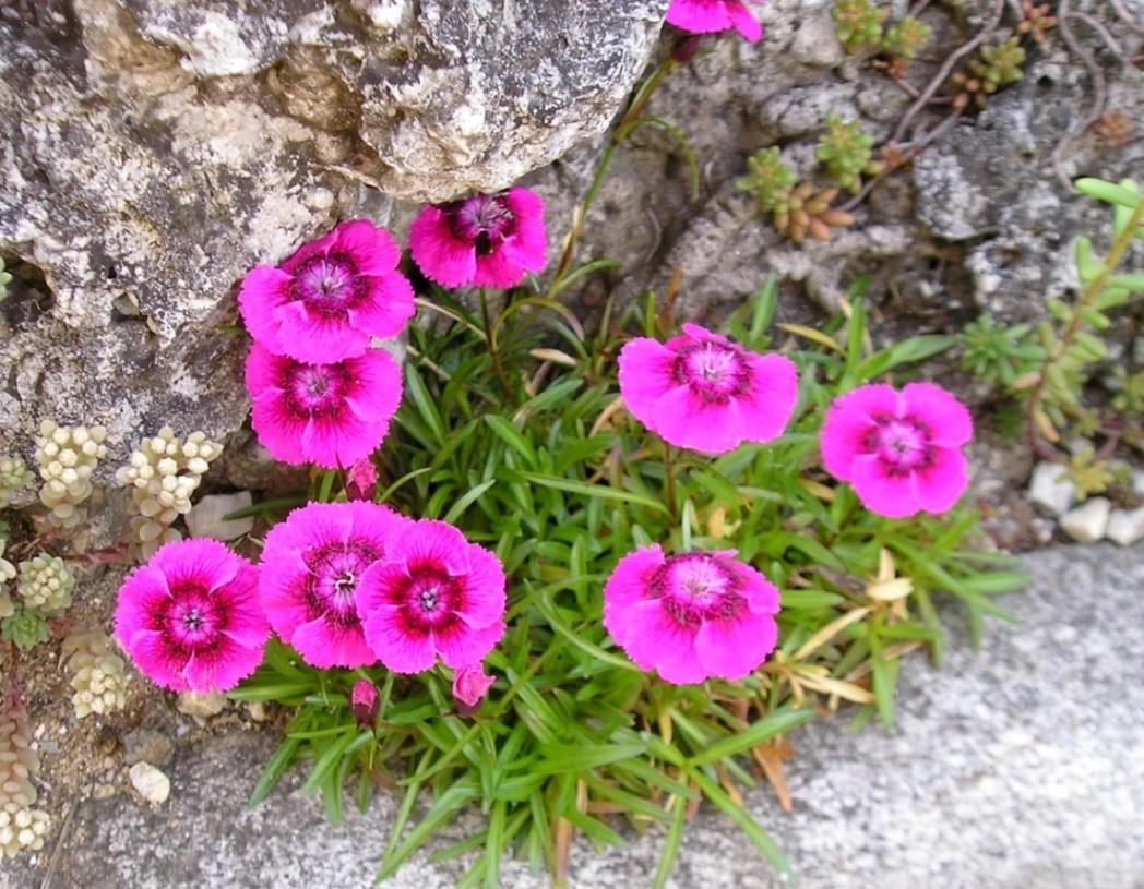 Fleur de rocaille tout savoir sur les fleurs de rocaille for Plantes qui poussent a l ombre