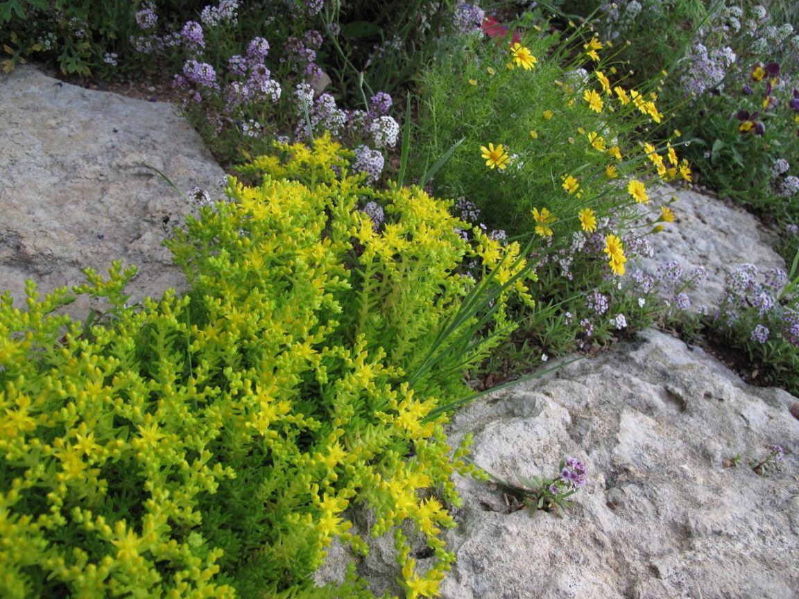 Fleur de rocaille tout savoir sur les fleurs de rocaille - Image de rocaille ...