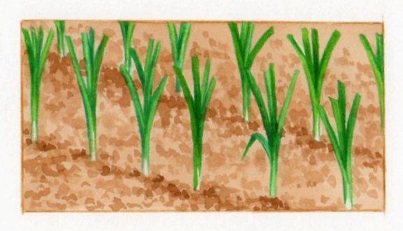 Semer et repiquer les poireaux - Plants de poireaux a repiquer ...