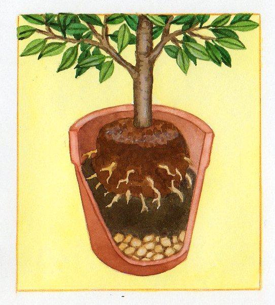 Cultiver des agrumes en pots - Tailler un citronnier en pot ...