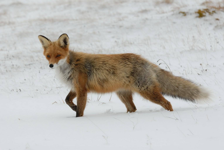 """Résultat de recherche d'images pour """"renard hiver"""""""