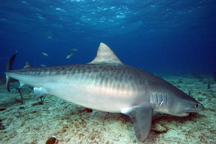 Requin la rencontre du requin tigre - Photo de requin tigre a imprimer ...