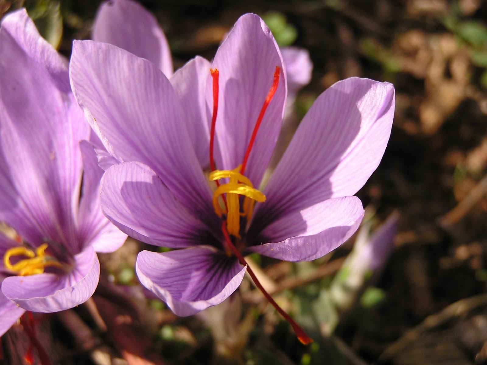 Bulbes fleurs for Willemse fleurs