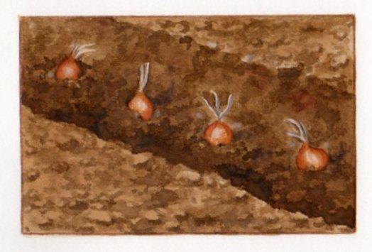 Le safran plantation et r colte for Arrosage des bulbes