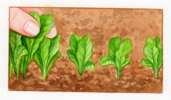 semer et repiquer les salades. Black Bedroom Furniture Sets. Home Design Ideas