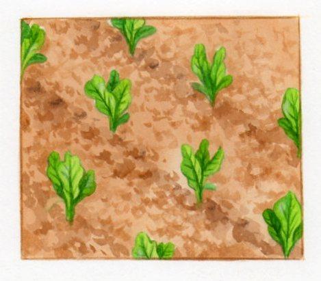 Semer de la salade