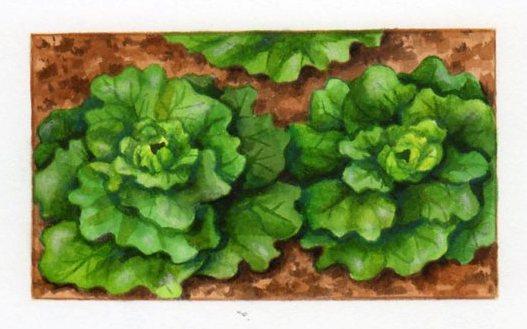 semer et repiquer les salades   pratique.fr