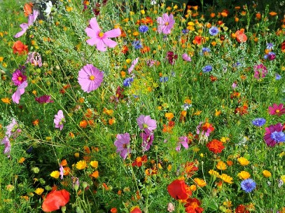 fleurs annuelles les semer et les planter. Black Bedroom Furniture Sets. Home Design Ideas