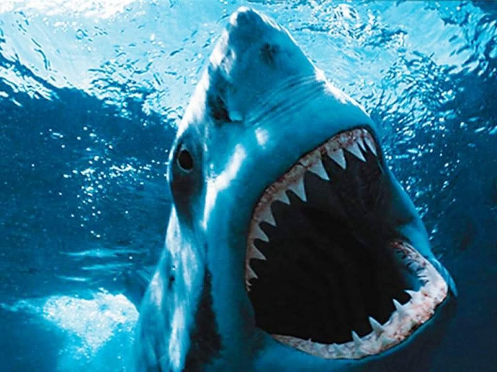 Grand requin blanc m thode de chasse reproduction d couvrez le grand requin blanc - Dessin de grand requin blanc ...