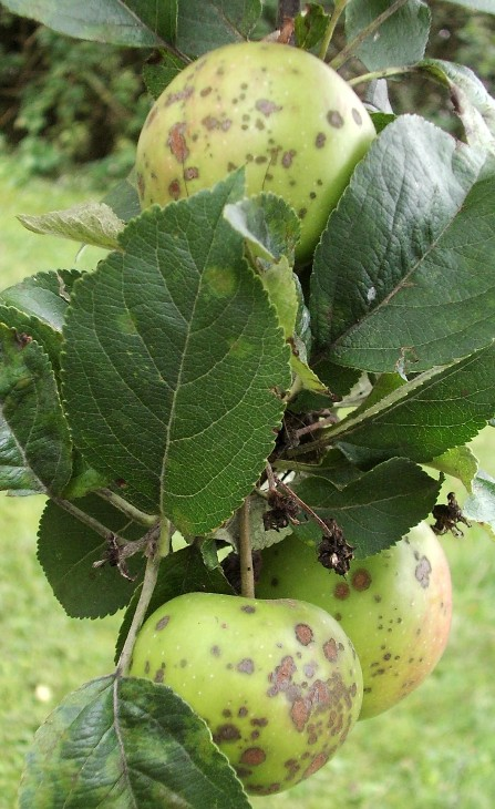 Reconna tre les maladies et ravageurs et mieux traiter les plantes - Maladie des arbres fruitiers ...