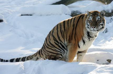 [Aaron.curtis/Sheeraa] JEU DU MDP [964] (ONU) Tigre-siberie-0