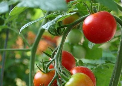 tomate les diff rentes vari t s de tomates tomate cerise coeur de boeuf de pigeon. Black Bedroom Furniture Sets. Home Design Ideas