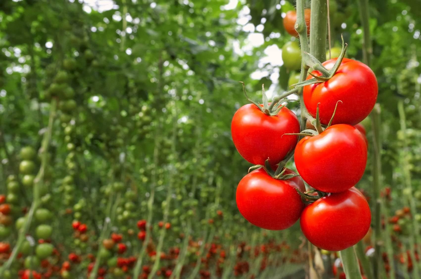jardin 7 astuces pour une bonne recolte de tomates. Black Bedroom Furniture Sets. Home Design Ideas