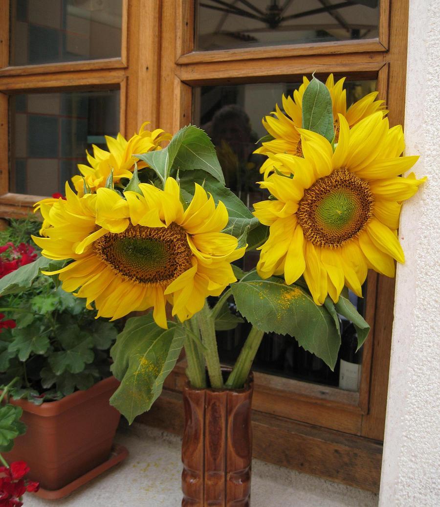 cultiver des tournesols : culture, semis et entretien des tournesols