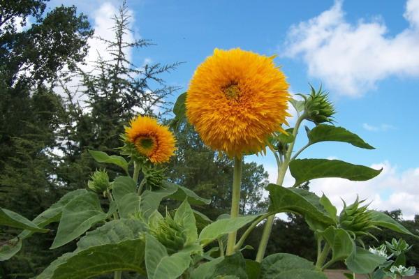 cultiver des tournesols   culture  semis et entretien des tournesols