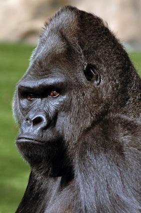 Gorille esp ce menac e mieux conna tre les gorilles - Dessin d un gorille ...