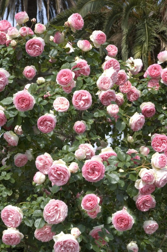 Rosier conna tre les diff rents types de rosiers - Taille rosier grimpant ...