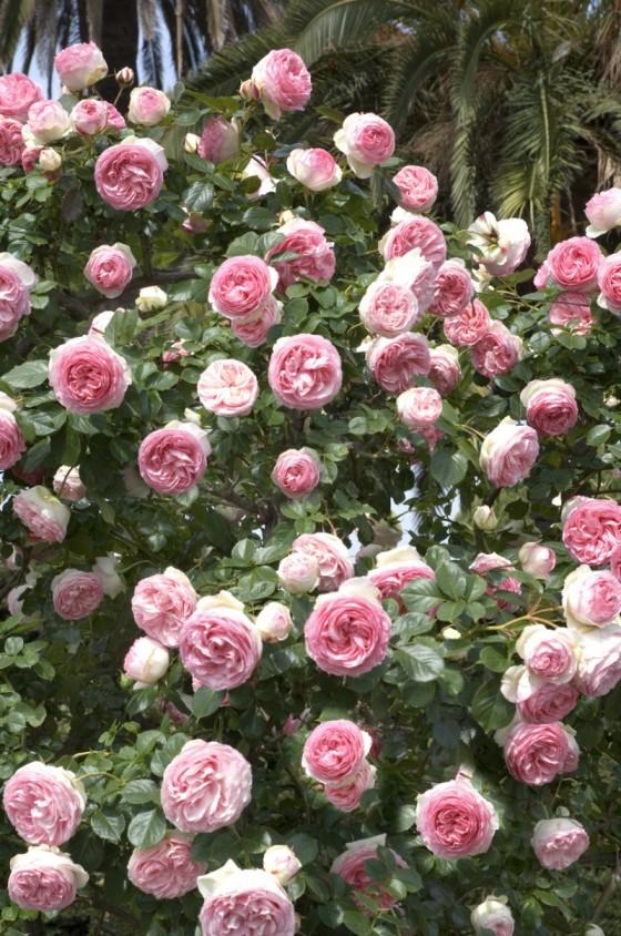 Rosier conna tre les diff rents types de rosiers - Taille rosier liane ...