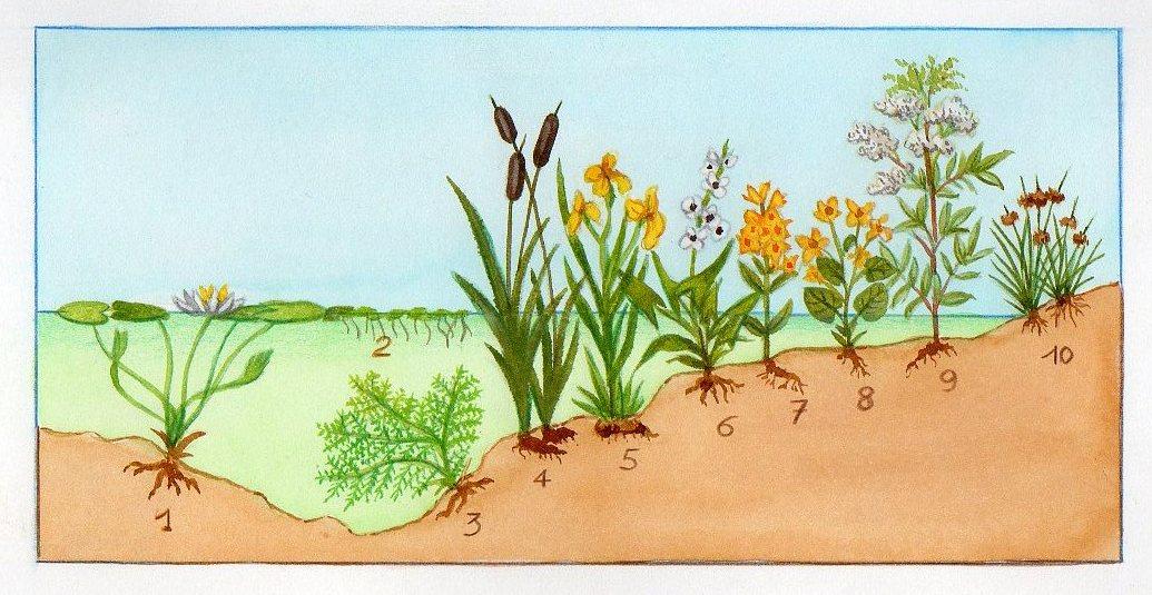 plante aquatique 4 lettres