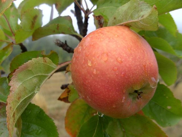 juteux pomme datant Alexandra Chando datant de l'histoire