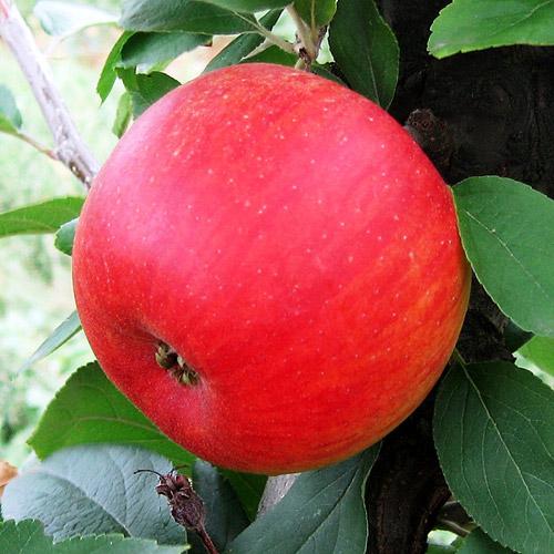 Vari t s de pommes - Variete de pommier rustique ...