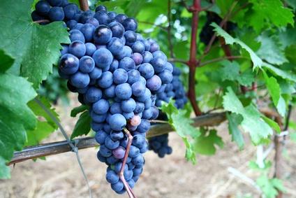 Vigne cultiver et entretenir sa vigne - Entretien de la vigne ...